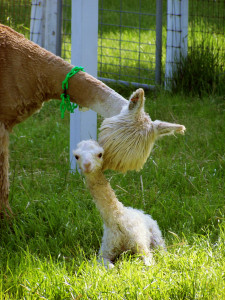 Female suri alpaca with cria