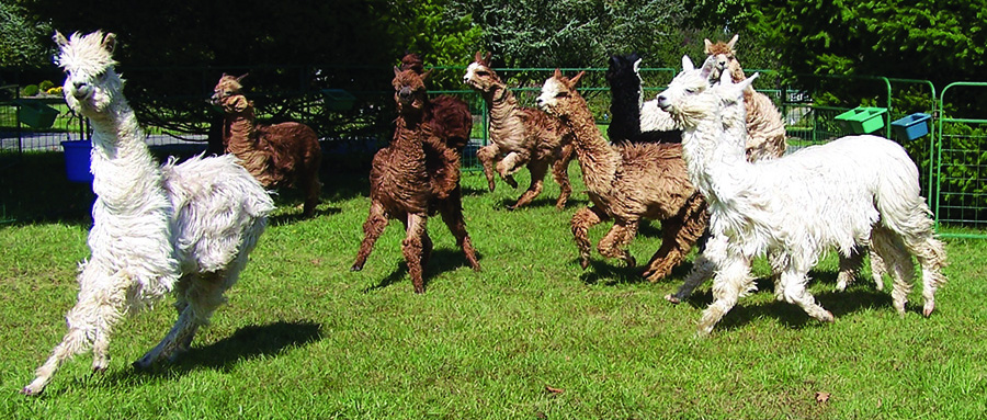Alpacas for sale in West River, Maryland