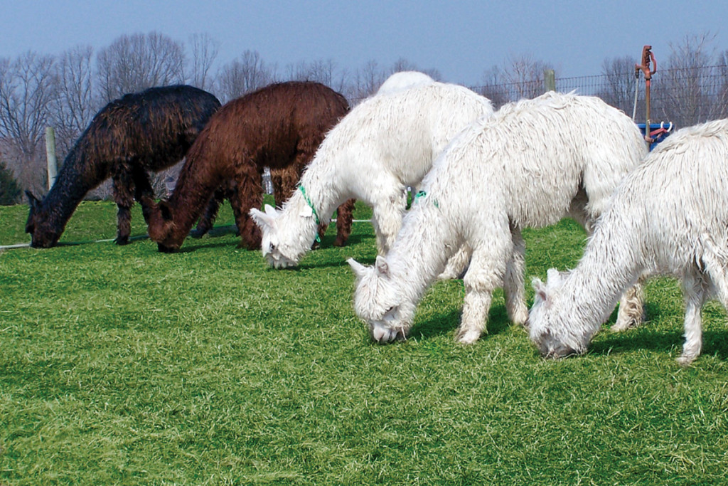 Alpacas grazing at Ameripaca Alpaca Breeding Co.